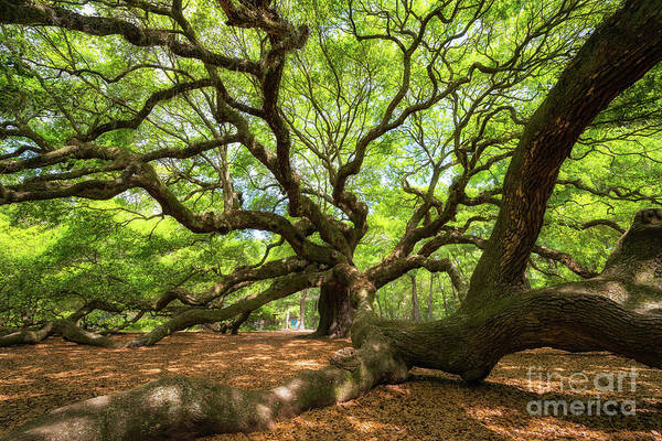 Glorious Wall Art - Photograph - Under The Angel Oak Tree by Michael Ver Sprill