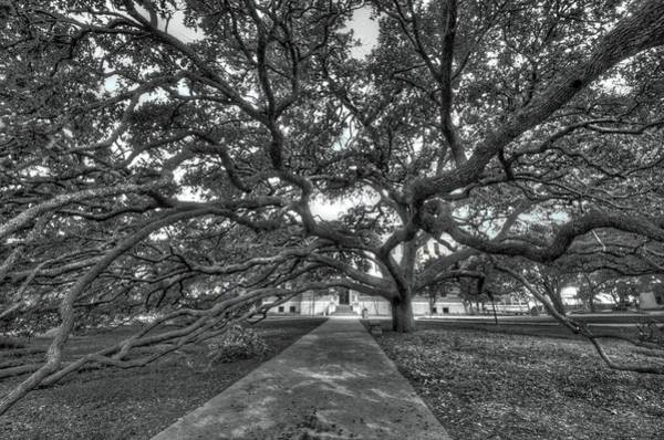 Photograph - Under The Century Tree - Black And White by David Morefield
