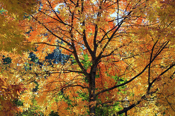 Photograph - Under The Golden Tree by Bonnie Follett