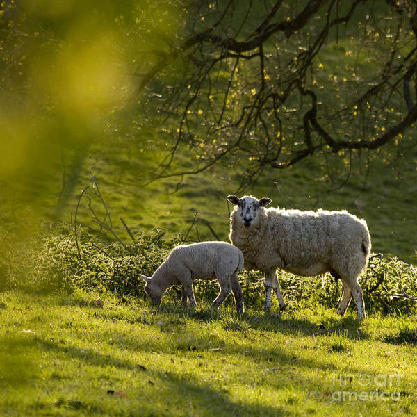 Sheep Photograph - Under The Setting Sun by Angel Ciesniarska
