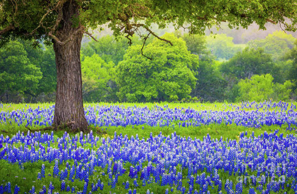 Texas Bluebonnet Photograph - Under The Tree by Inge Johnsson