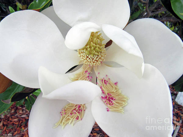 Photograph - Unfolding Beauty Of Magnolia by Roberta Byram