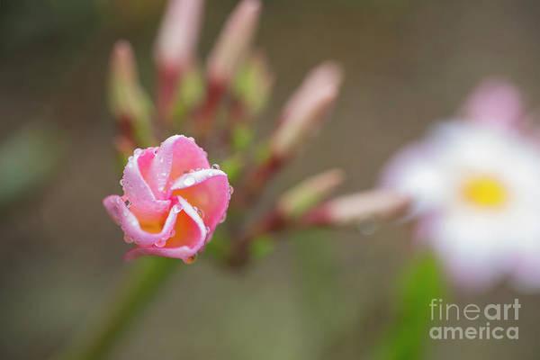 Photograph - Unfolding Plumeria Flower by Charmian Vistaunet