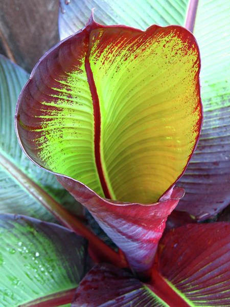 Wall Art - Photograph - Unfurling Red Banana Leaf  by Connie Fox