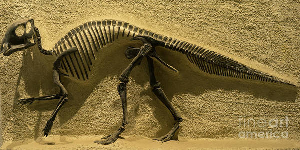 Photograph - University Of California Berkeley Dinosaur Fossil Inside The Valley Life Sciences Building Dsc4640 by Wingsdomain Art and Photography