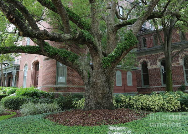 Photograph - University Of Tampa Tree by Carol Groenen