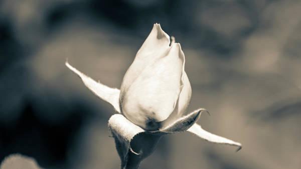 Photograph - Unopened Rose by Jacek Wojnarowski