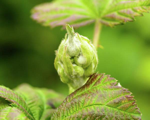 Photograph - Unopened Spring Bud C by Jacek Wojnarowski