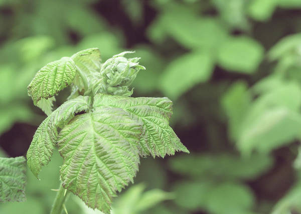 Photograph - Unopened Spring Bud O by Jacek Wojnarowski