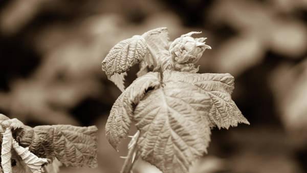Photograph - Unopened Spring Bud P by Jacek Wojnarowski