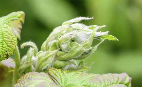 Photograph - Unopened Spring Bud Q by Jacek Wojnarowski