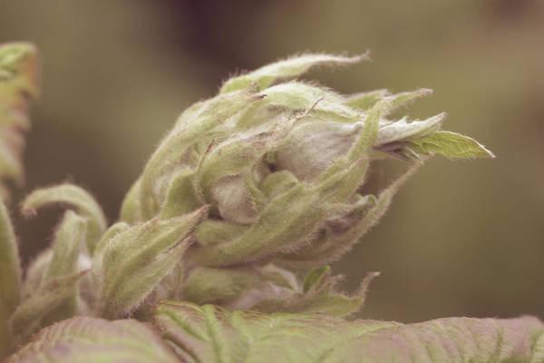 Photograph - Unopened Spring Bud R by Jacek Wojnarowski