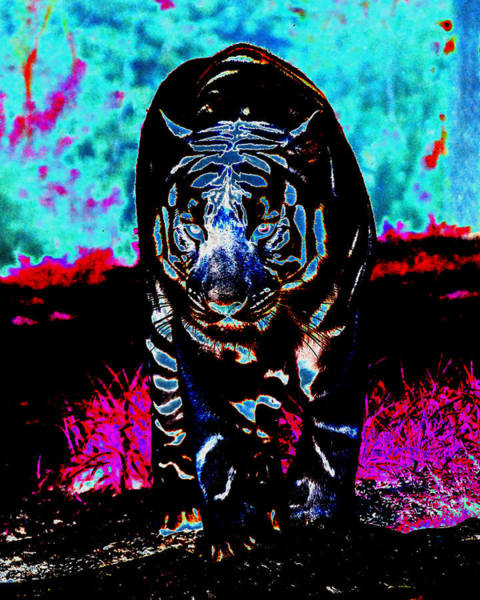 Photograph - Unusual Tiger On The Prowl by Maggy Marsh