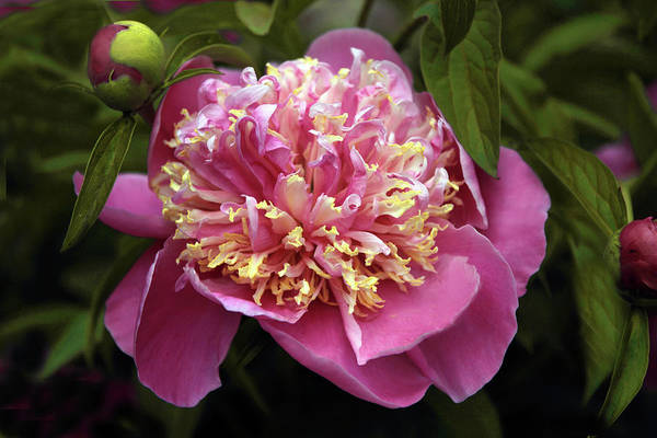 Magenta Photograph -  Unveiled Beauty by Jessica Jenney