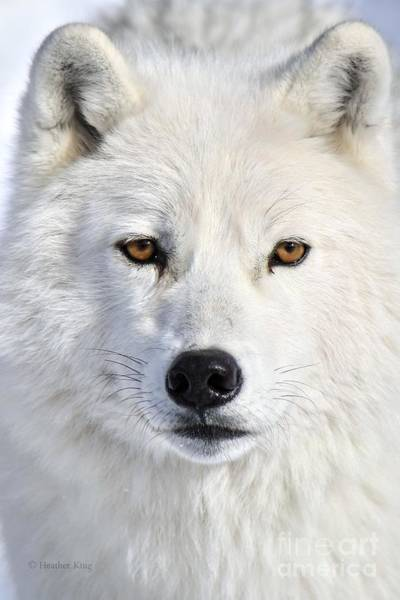 Arctic Wolves Photograph - Up Close And Personal by Heather King