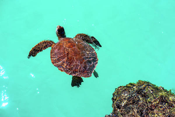 Honu Wall Art - Photograph - Up For Air by Christopher Johnson