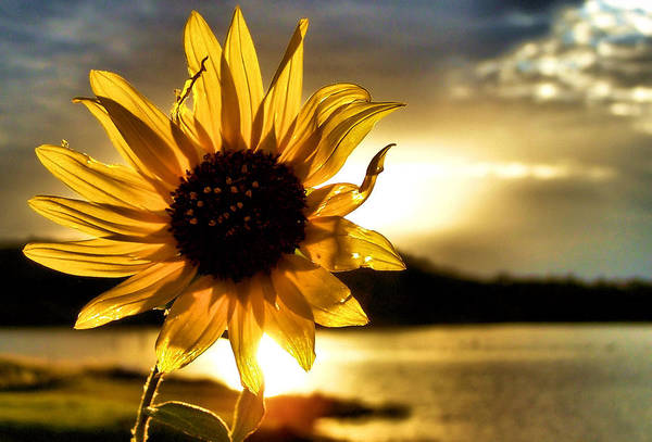 Sunflowers Photograph - Up Lit by Karen Scovill