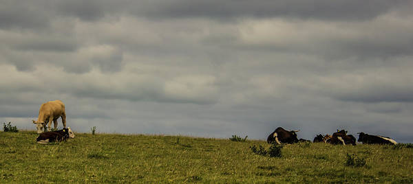 Dairy Cows Photograph - Up On The Hill by Martin Newman