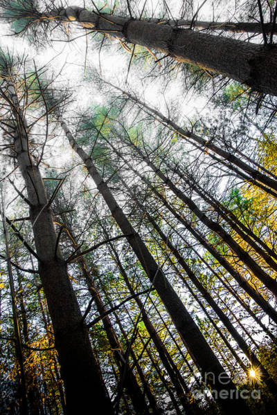 Photograph - Up Though The Pines by Michael Arend
