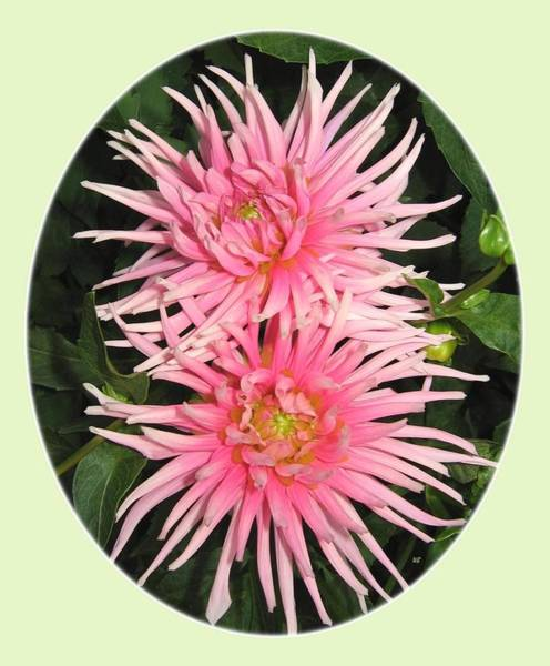 Flawless Photograph - Upbeat Cactus Dahlias by Will Borden