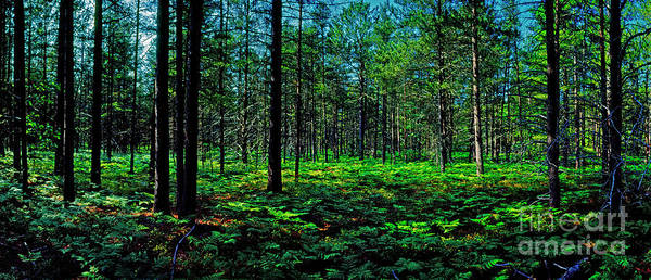 Photograph - Uper Michgan Pines Ferns And Blue Berrys  by Tom Jelen