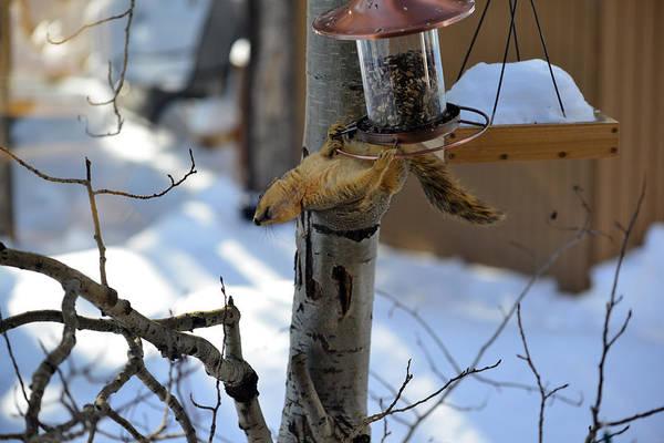 Photograph - Upisde Down Squirrel by Matt Swinden