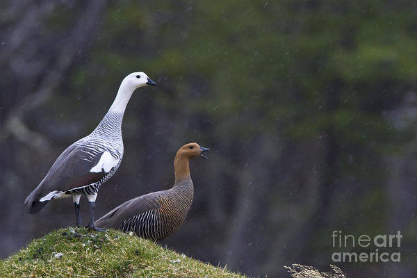 Southern Uplands Wall Art - Photograph - Upland Geese In The Rain by Jean-Louis Klein & Marie-Luce Hubert