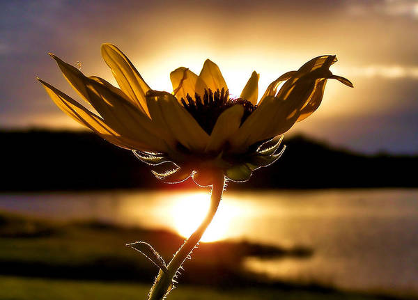 Sunflowers Photograph - Uplifting by Karen Scovill