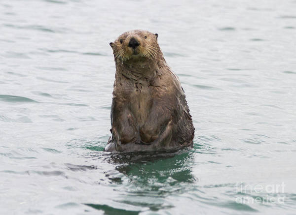 Photograph - Upright Sea Otter by Chris Scroggins