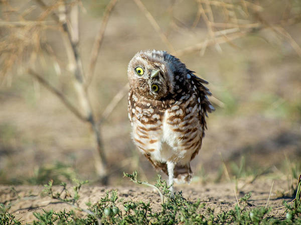 Photograph - Curious Burrowing Owl by Judi Dressler