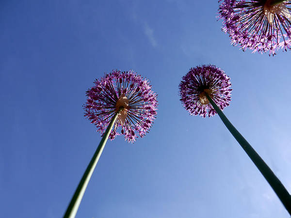 Photograph - Upwards Onions by Richard Reeve