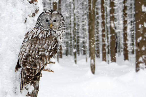 Photograph - Ural Owl In The Snow by Arterra Picture Library