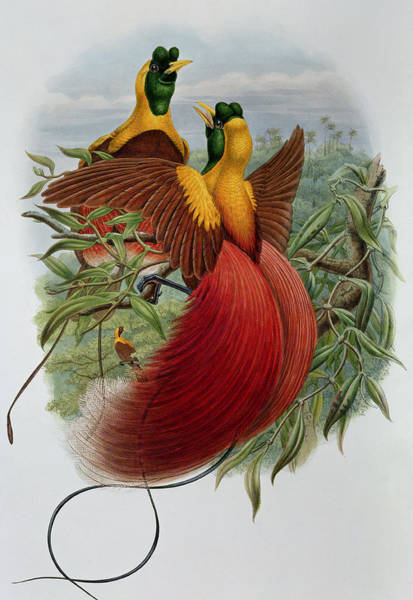 Bird Of Paradise Painting - Uranornis Rubra by John Gould