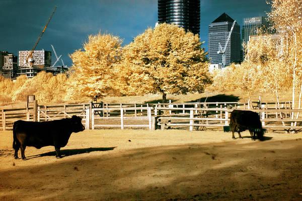 Photograph - Urban Cows by Helga Novelli