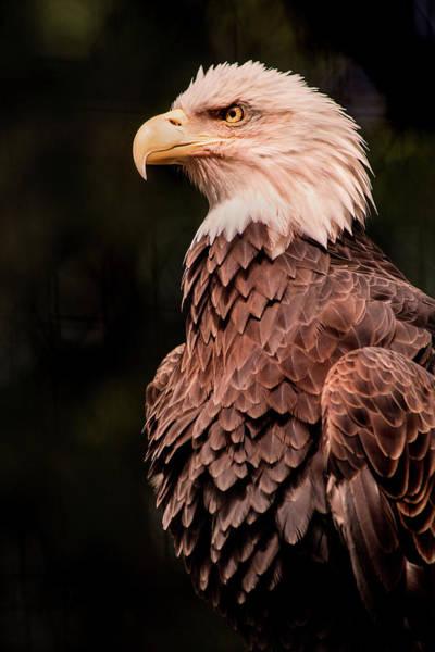 Photograph - Usa Eagle by Don Johnson