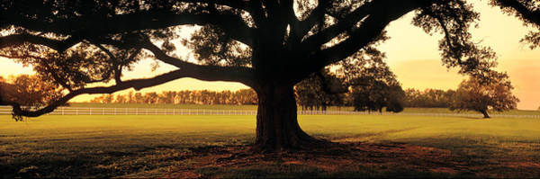 Wall Art - Photograph - Usa, Louisiana, Oak Tree At Sunset by Panoramic Images