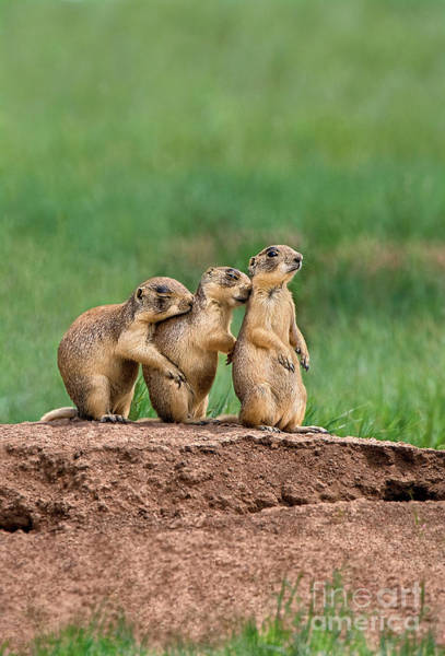 Photograph - Utah Prairie Dogs Cynomys Parvidens Wild Utah by Dave Welling