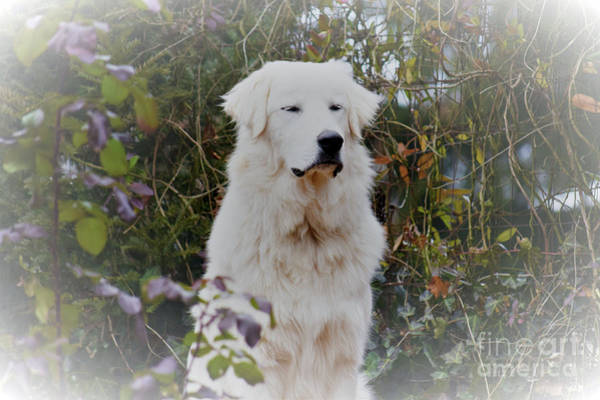 Great Pyrenees Photograph - Utopia by Patti Whitten