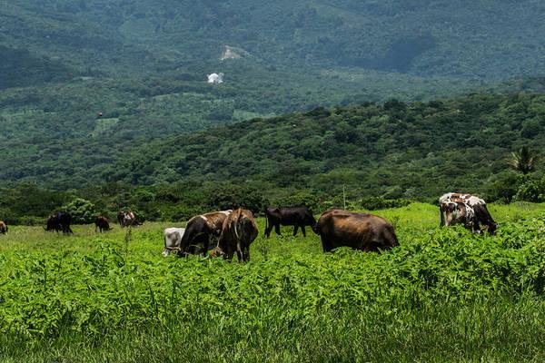 El Toro Photograph - Vacas De Ahuachapan by Totto Ponce