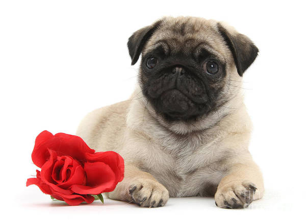 Photograph - Valentine Pug by Warren Photographic
