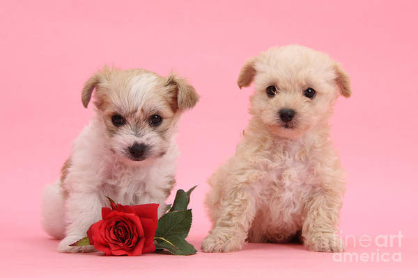 Photograph - Valentine Yochon Pups by Warren Photographic