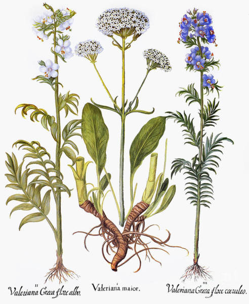 Photograph - Valerian Flowers, 1613 by Granger