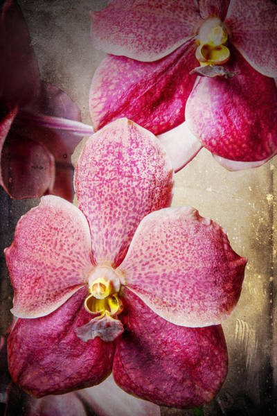 Photograph - Vanda Orchid 3036a by Rudy Umans