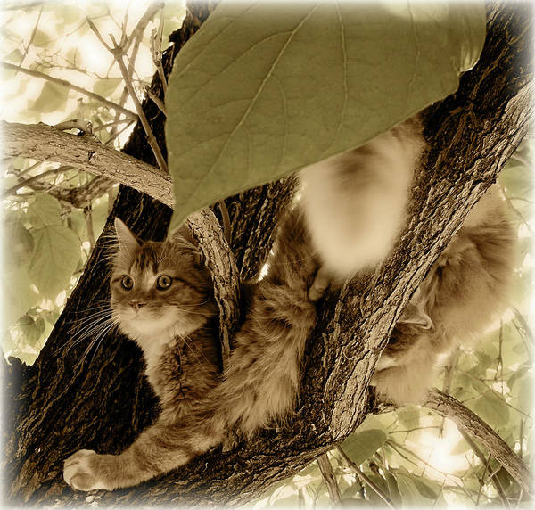 Long Hair Cat Photograph - Vantage Point by ShaddowCat Arts - Sherry