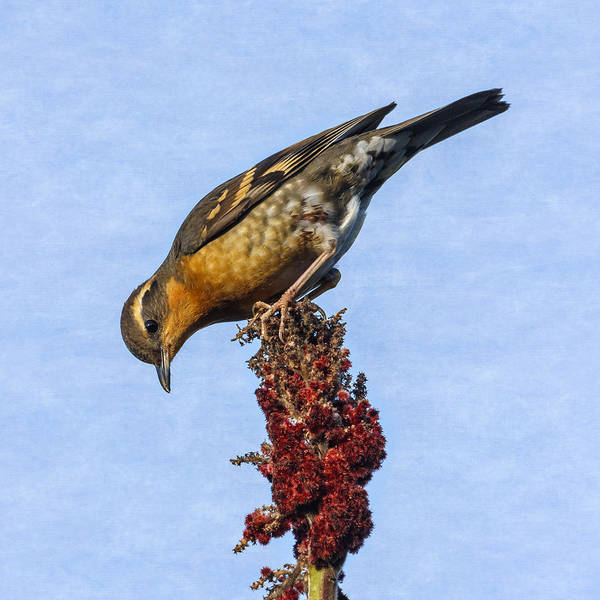Photograph - Varied Thrush Lunchtime by Wes and Dotty Weber