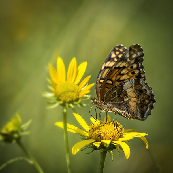 Photograph - Variegated Fritillary Butterfly On Sunflower by Robert Potts