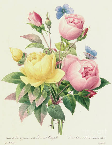 Wall Art - Painting - Variety Of Yellow Roses And Bengal Roses by Pierre Joseph Redoute