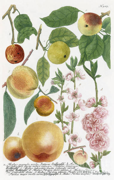 Apple Orchard Painting - Various Apples With Blossom by Georg Dionysius Ehret