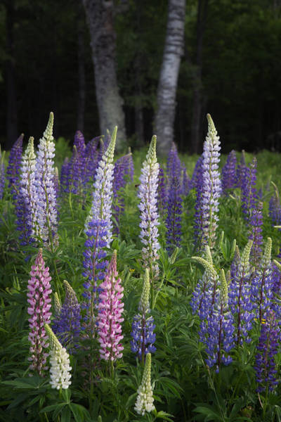 Photograph - Various Shades Of Lupines by Darylann Leonard Photography