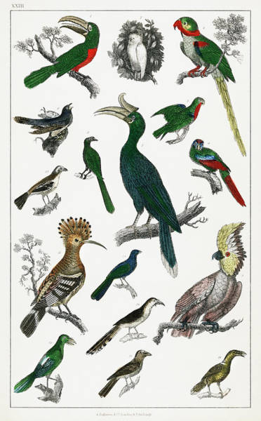 Green Parrot Drawing - Various Type Of Birds by Oliver Goldsmith